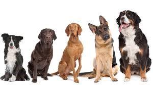Tájékoztatás a kutyák veszettség elleni védő- és pótoltásáról!